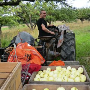 WWOOFer driving tractor harvesting apples